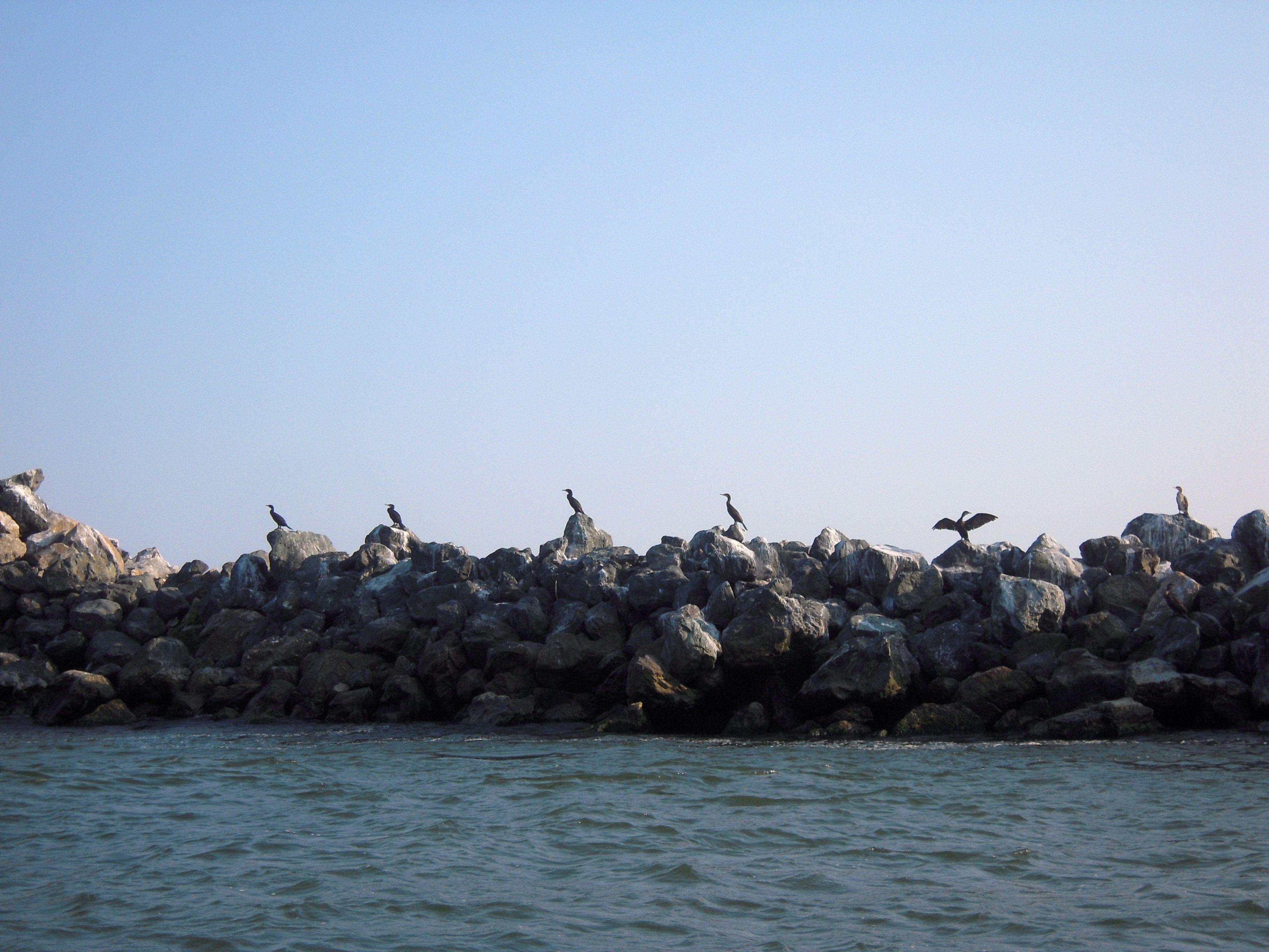 cormorans danube delta romania